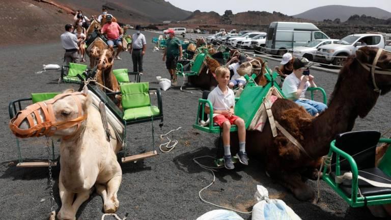 The Camels Are Back Walking Around Timanfaya